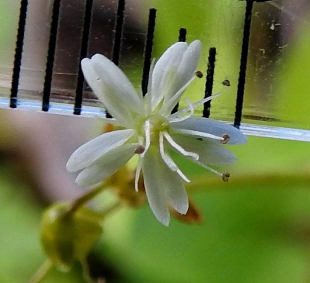 Stellaria longifolia - metsätähtimön teriö on yleensä läpimitaltaan noin 4-8 mm (kuvassa 5,5 mm). Heteitä kukassa on 10 sekä emin vartaloita ja luotteja yleensä 3, harvemmin 4 (kuvassa) ja hyvin harvoin enintään 6. EH, Hämeenlinna, Vuorentaka, Lakeentien pohjoispäästä lähtevän pelto- ja metsätien laide hakkuuaukean kohdalla, 3.7.2019. Copyright Hannu Kämäräinen.