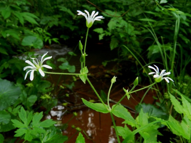 Stellaria nemorum - lehtotähtimön kukat ovat yksittäin versohaarojen kärjissä tai lehtihangoissa. Haarat ja kukkaperät ovat tiheästi hapsi- ja nystykarvaiset. Kukkaperällä on pituutta tavallisesti 1,5-4,5 cm. EH, Ruovesi, Siikakangas, Röykkeenneva, pieni lähteikkösuo, Pärjänlähteiltä tulevan puron laiteet, 1.7.2011. Copyright Hannu Kämäräinen.