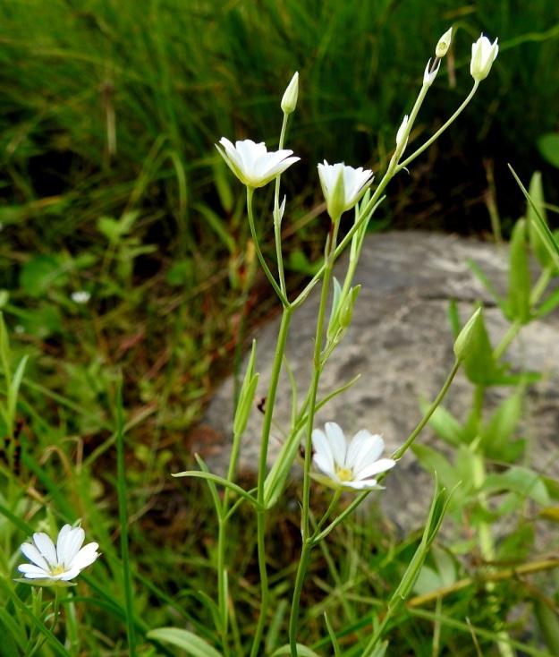 Stellaria palustris - luhtatähtimön kukat ovat yksittäin haarojen kärjessä tai hangoissa. Kukkaperä on yleensä noin 2,5-5 cm pitkä. OP, Oulu, Haukipudas, Martinniemi, Kilpukkaperä, Villenniemen pohjoispuolinen rantaniittyalue, 9.7.2019. Copyright Hannu Kämäräinen.