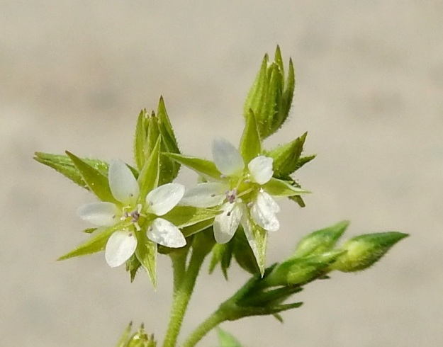 Arenaria serpyllifolia - mäkiarhon kukassa on 10 hedettä. Molemmissa kuvan kukissa viisi niiden sinipunaisista ponsista näkyy terälehtien tyven päällä ja toiset viisi on yhtenäisenä ryhmänä kukan keskellä. Useimmiten emin vartaloita ja luotteja on 3, harvemmin 4-5. Kuvan vasemmassa kukassa sivulle harittavia luotteja on neljä. EH, Janakkala, Harviala, taimistoalueen laita, 5.6.2019. Copyright Hannu Kämäräinen.