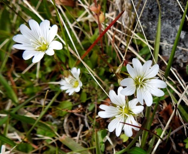 Cerastium alpinum subsp. glabratum - tunturihärkin subsp. kaljutunturihärkin kukka on läpimitaltaan tavallisesti noin 15-20 mm. Terälehdet ovat valkoiset, tyveltään keltaiset, laajat ja matalasti lovipäiset sekä. yleensä 9-15 mm pitkät. Heteitä on 10 ja emin vartaloita ja luotteja 5. EnL, Enontekiö, Kilpisjärvi, Saanan koillispuoli, Saanajärven luoteispäästä nouseva korkea harjanne, kivikkoinen paljakkarinne, 720 m mpy, 6.7.2018. Copyright Hannu Kämäräinen.
