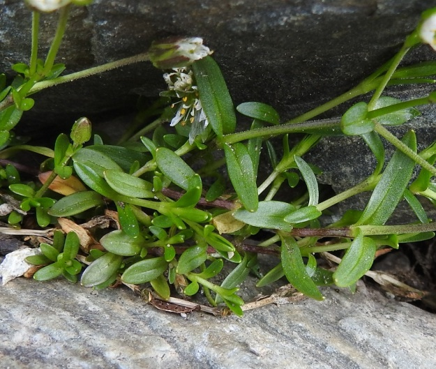 Dichodon cerastoides (Cerastium cerastoides) - lumihärkin lehdet ovat vastakkaiset, ruodittomat, hieman möyheät ja kaljut sekä usein käyrät. Kukallisissa versoissa ne ovat tasasoukat tai kapean pitkulaiset ja tavallisesti noin 5-10 mm pitkät ja noin 1-3 mm leveät. EnL, Enontekiö, Kilpisjärvi, Iso-Mallan eteläinen alarinne, Kitsijoen Kitsiputouksen tyvirotko, uoman laide, 645 m mpy, YKJ 9.7.2018. Copyright Hannu Kämäräinen.