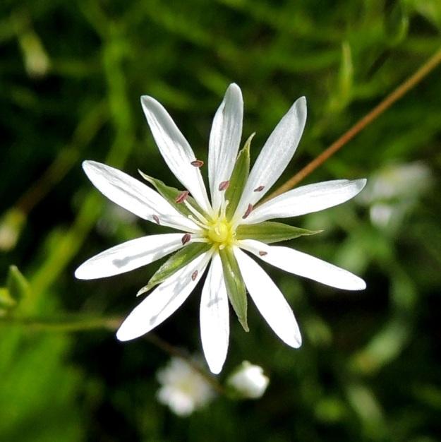 Stellaria graminea - heinätähtimön terälehdet ovat lähes tyveen saakka kaksiliuskaiset niin, että näyttää kuin niitä olisikin kymmenen. Terälehdet ovat kaksineuvoisissa kukissa (kuva) usein 1,5 - lähes 2 kertaa verholehtien pituiset. Hedekukissa ne ovat noin verholehtien mittaiset. Heteitä kukassa on 10 ja emin luotteja 3. PeP, Tervola, Mattinen, Kemijoen kaakkoisranta Laavun tilan lounaispuolella, joen korkean rantatörmän päällys, 16.7.2015. Copyright Hannu Kämäräinen.