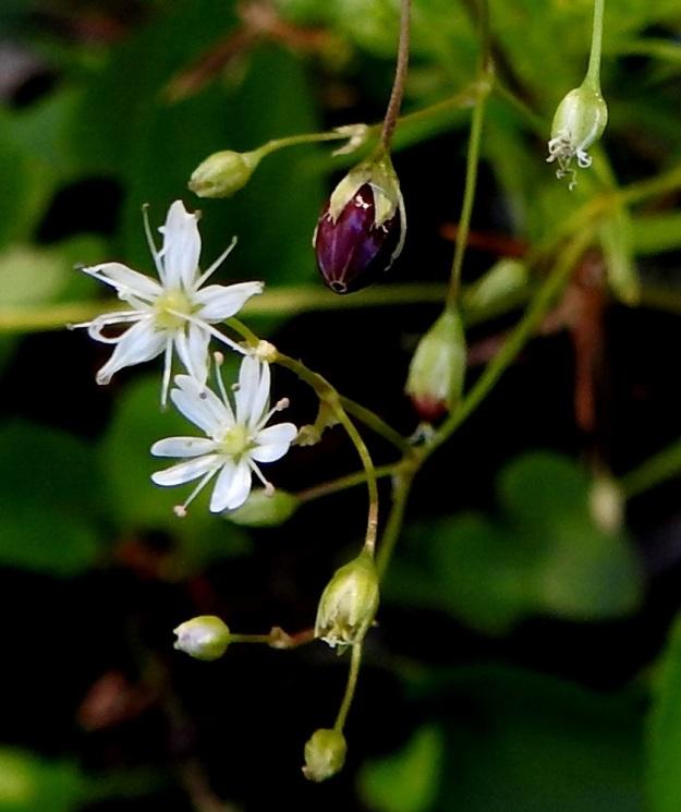 Stellaria longifolia - metsätähtimö haaroo yhä uusin kukin samalla, kun osa aikaisemmista kukista on jo kypsinä kotina. Kota on munanmuotoinen ja väriltään vaaleanruskea tai kuvan tavoin punaruskea. EH, Hämeenlinna, Vuorentaka, Lakeentien pohjoispäästä lähtevän pelto- ja metsätien laide hakkuuaukean kohdalla, 3.7.2019. Copyright Hannu Kämäräinen.