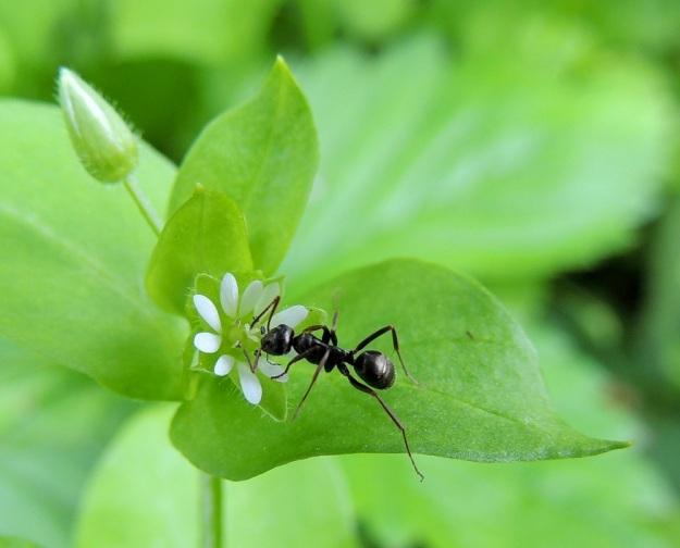 Stellaria media - pihatähtimö on enimmäkseen itsepölytteinen, joten se voi tehokkaana rikkana itää ja kukkia lähes aina, kun maa on sula. Hyönteisiäkin kukat kuitenkin jossain määrin kiinnostavat. Pihamauriainen, Lasius niger, haluaa ainakin löytää kukasta mesitipan. EH, Hämeenlinna, Loimalahti, Hirsimäki, Näsiäntie, pihamaan kukkapenkki, 20.6.2014. Copyright Hannu Kämäräinen.