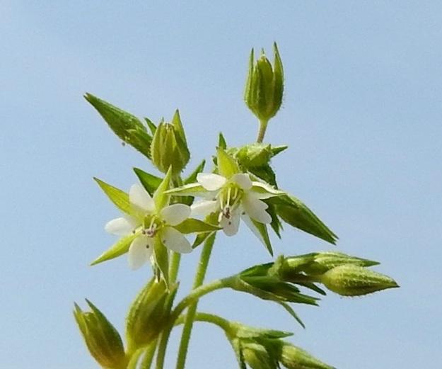 Arenaria serpyllifolia - mäkiarhon siemenkota (näkyy kuvassa mm. ylinnä) on päärynän mallinen ja noin 2,5-4,5 mm pitkä. Se on verholehtien pituinen tai hieman niitä pitempi. EH, Janakkala, Harviala, taimistoalueen laita, 5.6.2019. Copyright Hannu Kämäräinen.