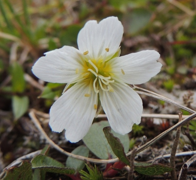 """Cerastium alpinum subsp. glabratum - tunturihärkin subsp. kaljutunturihärkin tavallisuudesta poikkeava kukka. Olisiko """"rakennusvaiheessa"""" jäänyt emin vartaloista ja luoteista hukkapätkiä, kun niitä on """"laitettu"""" kuvan kukkaan viiden sijasta seitsemän. EnL, Enontekiö, Kilpisjärvi, Saana, Saanan luoteisrinne, nousupolun varsi, paljakkarinne, 730 m mpy, 17.7.2013. Copyright Hannu Kämäräinen."""