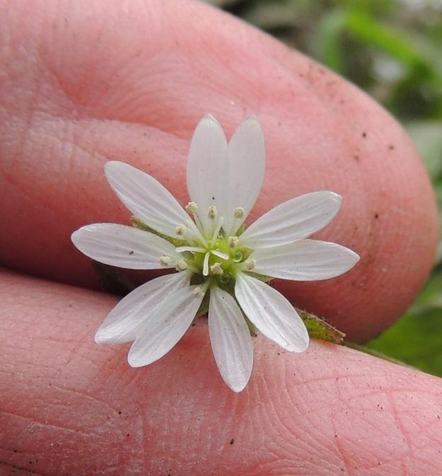 Stellaria aquatica (Myosoton aquaticum) - vadan kukka on noin10-15 mm leveä. Terälehdet ovat noin 5-8 mm pitkät. Heteitä on 10 ja emin luotteja 5. EH, Hämeenlinna, Ojoinen, Paroinen, jätevedenpuhdistamon kompostiauma-alue, itälaita, tieuran vierus, 25.9.2016. Copyright Hannu Kämäräinen.