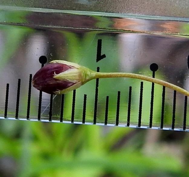 Stellaria longifolia - metsätähtimön verholehdet ovat puikeahkot, vihreät ja kaljut. Niiden laita on kapeasti valkoisen kalvoreunainen ja ripsetön. Pituus on tavallisesti noin 2,5-3 mm (kuvassa 2,5 mm) ja leveys noin 1 -1,3 mm. Kota on noin 4-5 mm pitkä (kuvassa hieman vajaat 5 mm) ja noin 2-3 mm leveä. EH, Hämeenlinna, Vuorentaka, Lakeentien pohjoispäästä lähtevän pelto- ja metsätien laide hakkuuaukean kohdalla, 3.7.2019. Copyright Hannu Kämäräinen.