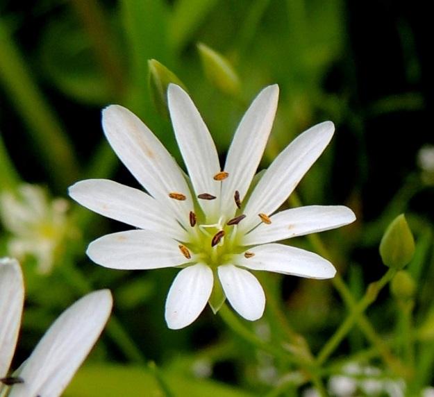 Stellaria palustris - luhtatähtimön viisi valkoista terälehteä ovat lähes tyveen saakka jakautuneet niin, että näyttää kuin niitä olisikin kymmenen. Terälehtien pituus vaihtelee yleensä välillä 6-13 mm. Jaokkeet ovat usein kuvan tavoin malliltaan suikeat. Heteitä on 10 ja emin vartaloita ja luotteja 3. Ponsien pituus on 0,8-1,2 mm. Kuvan kukan leveys on noin 20 mm. EH, Hämeenlinna, Keinusaari, Varikonniemi, Vanajaveden vetinen luhtaranta pitkospuupolun varressa, 21.6.2013. Copyright Hannu Kämäräinen.