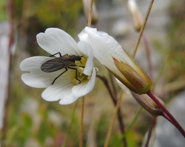 Cerastium alpinum subsp. glabratum - tunturihärkin subsp. kaljutunturihärkin kukat kiinnostavat ainakin kärpäsiä. EnL, Enontekiö, Kilpisjärvi, Kalottireitin varsi Iso-Mallan eteläisellä alarinteellä, n. 50 m Kitsijoesta itään , 650 m mpy, 19.7.2013. Copyright Hannu Kämäräinen.