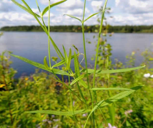 Stellaria graminea - heinätähtimön lehdet ovat vastakkaiset, sivulle siirottavat ja ruodittomat sekä lähes tasasoukat tai kapeansuikeat ja pitkäsuippuisen teräväkärkiset. Varren keskiosan lehdet ovat tavallisesti noin 20-50 mm pitkät ja leveimmältä kohtaa noin 2-7 mm leveät. Tervola, Mattinen, Kemijoen kaakkoisranta Laavun tilan lounaispuolella, joen korkean rantatörmän päällys, 16.7.2015. Copyright Hannu Kämäräinen.