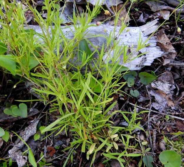 Stellaria longifolia - metsätähtimön lehdet ovat ruodittomasti vastakkain ja ne siirottavat sivulle tai ovat pystyhköt. Ne ovat kuvan tavoin vaaleanvihreät tai vihreät ja malliltaan lähes tasasoukat tai kapeansuikeat. Tyvellä on usein kuvan tavoin pieniä, pitkänpyöreitä lehtiä, jotka lakastuvat tavallisesti kukinnan vielä jatkuessa. EH, Hämeenlinna, Vuorentaka, Lakeentien pohjoispäästä lähtevän pelto- ja metsätien laide hakkuuaukean kohdalla, 3.7.2019. Copyright Hannu Kämäräinen.