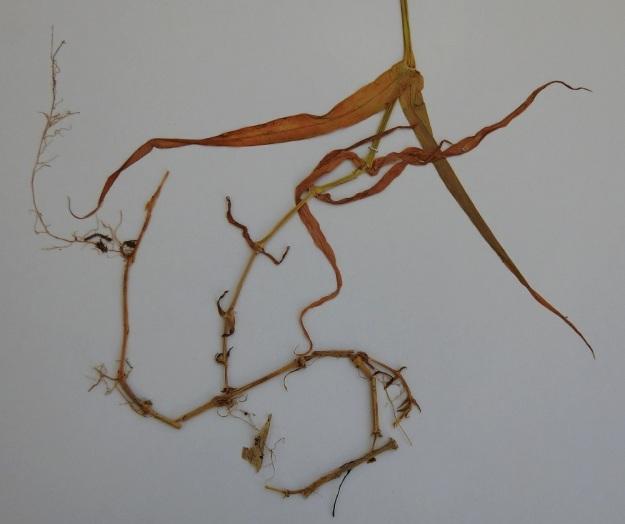 Rabelera holostea (Stellaria holostea) - kevättähtimö talvehtii kaatuneiden ja nivelkohdistaan juurtuneiden, vanhojen varsien avulla. Uudet varret nousevat tästä vanhojen varsien verkostosta. Kukintavaiheessa verson alimmat lehdet ovat usein jo lakastuneet, mutta pysyvät kuihtuneina paikallaan. U, Porvoo, Pellinki, Söderby, Bastuhamn, pieni merenlahti Hagnäsin ja Mellanuddenin välissä, rantametsän laita, 17.6.1988. Kuva näytteestä 5.5.2020. Copyright Hannu Kämäräinen.