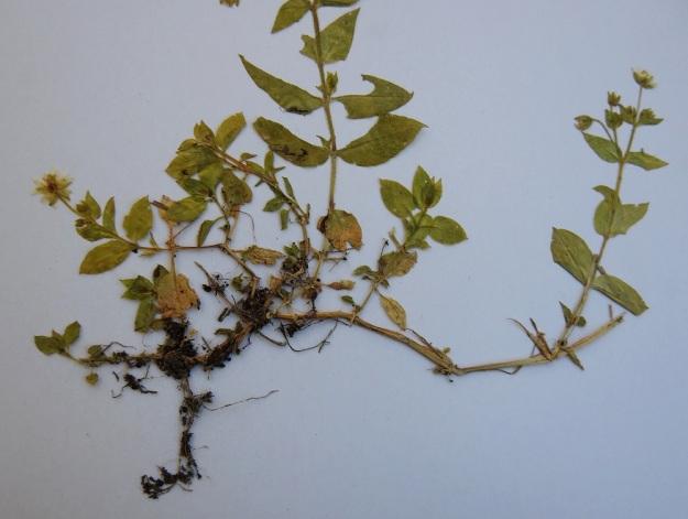 Stellaria aquatica (Myosoton aquaticum) - vata on yksi- tai monivuotinen. Se voi talvehtia kuvan yksilön tavoin kaatuneiden ja nivelkohdistaan juurtuneiden, vanhojen varsien avulla. Uudet varret nousevat tästä vanhojen varsien verkostosta. EH, Hämeenlinna, keskusta, Hämeensaari, Hämeenkaaren urheiluhallin seinusta 17.8.1991. Kuva näytteestä 5.5.2020 Copyright Hannu Kämäräinen.