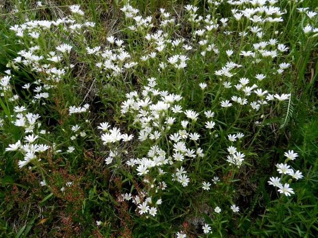 Cerastium arvense - ketohärkki levittäytyy tehokkaasti kasvullisesti rönsyjen avulla ja muodostaa usein laajojakin kloonikasvustoja. EH, Janakkala, Harviala, Alikartanontien vanhan tieuran ja taimistoalueen välinen ketoniittykaista, 9.6.2012. Copyright Hannu Kämäräinen.
