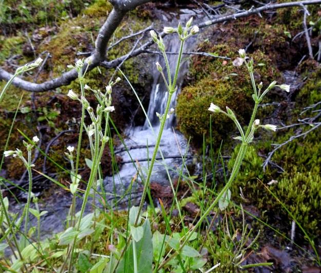 Cerastium fontanum subsp. fontanum - nurmihärkki subsp. pohjannurmihärkki on Pohjois-Suomen alkuperäinen luonnonkasvi, joka kasvaa erityisesti jokien ja purojen laitaniityillä, kosteissa tunturikoivikoissa ja lähteiden ympäristössä. EnL, Enontekiö, Kilpisjärvi, Saanan Kilpisjärveen päättyvä luoteinen alarinne, tunturikoivikko Siilastuvan kohdalla, maantien yläpuolella, 510 m mpy, 8.7.2018. Copyright Hannu Kämäräinen.