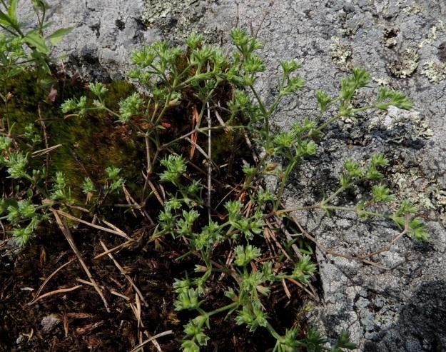 Scleranthus annuus subsp. annuus - viherjäsenruohon subsp. höröjäsenruohon varret ovat vihreät tai sinipunaiset ja yleensä noin 5-20 cm pitkät. Varsien keskiosan nivelten väli on tavallisesti 1-3 cm. EH, Hattula, Lahdentaka, Vanajaveden Vanajaniemi, Vohlion niemekkeen rantakalliot, 25.6.2016. Copyright Hannu Kämäräinen.