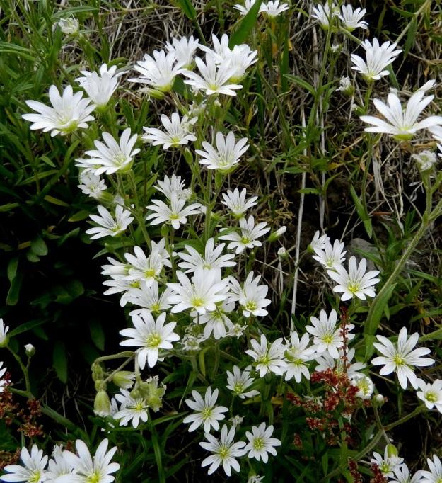 Cerastium arvense - ketohärkin kukinto-osa muodostuu peräkkäisistä kaksihaaraviuhkoista, joissa kukat ovat haarojen kärjessä ja haarahangassa. EH, Janakkala, Harviala, Alikartanontien vanhan tieuran ja taimistoalueen välinen ketoniittykaista, 9.6.2012. Copyright Hannu Kämäräinen.
