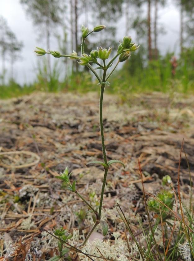 Cerastium fontanum subsp. vulgare var. kajanense - nurmihärkki subsp. piennarnurmihärkki var. kainuunnurmihärkki. Varret ovat suorat, kaarevat tai kuvan tavoin hieman polvekkaat. Kuvan kukkavarsi haaroo varsinivelestä, mikä ei ole kovin yleistä. Kukinto-osa on epätyypillisen tiivis ja runsaskukkainen. Tämä johtuu härkkiä vaivaavasta kasvuhäiriöstä, joka tekee myös joistakin kukista epämuodostuneita korvaten terälehdet verholehtien kaltaisilla vihreillä lehdillä. Kn, Paltamo, Tololanmäki, Oulujärven Mieslahden Pitkänperän itäpuoli, Matokallio, 11.7.2015. Copyright Hannu Kämäräinen.