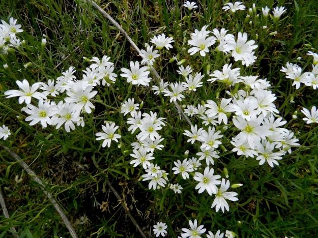 """Cerastium arvense - ketohärkin yhdessä kukkavarressa on yleensä 4-10 kukkaa. Kun kukkavarret kasvavat usein tiheinä ryhminä, syntyy kasvupaikoille näyttäviä """"kukkakimppuja"""". EH, Janakkala, Harviala, Alikartanontien vanhan tieuran ja taimistoalueen välinen ketoniittykaista, 9.6.2012. Copyright Hannu Kämäräinen."""