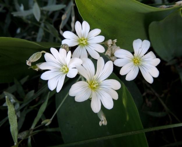 Cerastium tomentosum - hopeahärkin kukinto on tavallisesti 5-15-kukkainen. Teriö on läpimitaltaan noin 25-30 mm. Kuvan vasemmassa laidassa näkyy verholehtiä pitempi kota, joka on yleensä 6-8 mm pitkä. EH, Nokia, Myllyhaka, Rounionkadun laita Melia Oy:n myllyaluetta vastapäätä, tieltä nouseva rinne, 21.6.2016. Copyright Hannu Kämäräinen.