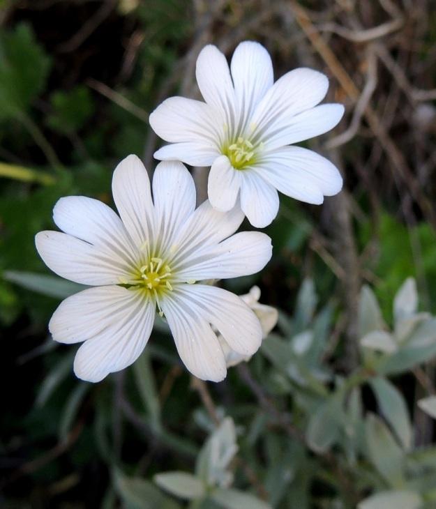 Cerastium tomentosum - hopeahärkillä on viisi valkoista ja päästään noin 4-5 mm syvästi halkoista terälehteä, jotka ovat tavallisesti 13-18 mm pitkät. Heteitä on 10 ja emin vartaloita ja luotteja 5. EH, Nokia, Myllyhaka, Rounionkadun laita Melia Oy:n myllyaluetta vastapäätä, tieltä nouseva rinne, 21.6.2016. Copyright Hannu Kämäräinen.