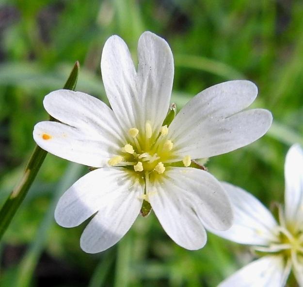 Cerastium arvense - ketohärkin teriö on läpimitaltaan tavallisesti noin 15-20 mm. Terälehdet ovat valkoiset ja tyveltään keltaiset sekä kärjestään matalahkosti kaksiliuskaiset. Terälehtien pituus on yleensä noin 9-13 mm ja leveys noin 4-6 mm. Ne ovat noin kaksi kertaa verholehtien pituiset. EH, Hämeenlinna, Ahvenisto, Ahvenistonjärven itäranta, ulkoilureitin laita jyrkän harjurinteen tyvellä, 30.5.2020. Copyright Hannu Kämäräinen.