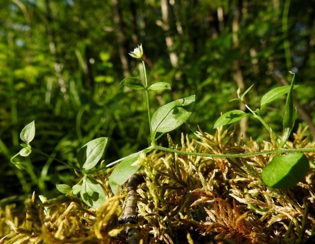 Moehringia trinervia - lehtoarhon varret ja kukkaperät ovat hienokarvaiset. Kukan tukilehdet ovat varsilehtien kaltaiset mutta pienemmät. Kukkaperän pituus vaihtelee kukintavaiheessa paljon. Vaihteluväli on yleensä 0,5-3 cm. EH, Lempäälä, Perälä, Liponselän eteläpää, Mantere, pohjoiseen suuntautuvan nimettömän niemen rantalehto, 24.6.2020. Copyright Hannu Kämäräinen.
