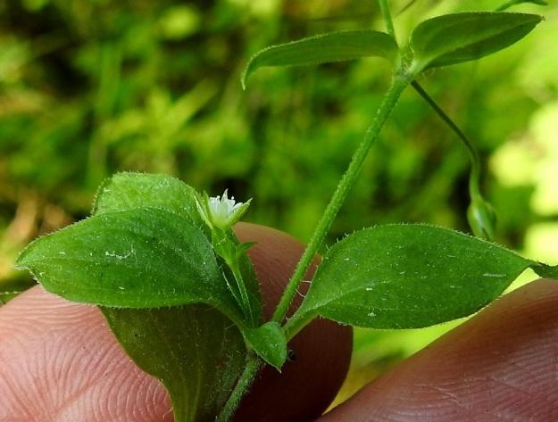 Moehringia trinervia - lehtoarhon lehtien laita on tiheästi ripsikarvainen. Lisäksi lehdet ovat suonia myöten ja usein muutenkin hienokarvaiset. Kukan verholehdet ovat suikeat ja teräväkärkiset. Ne ovat vihreät ja laidoiltaan leveästi kalvoreunaiset sekä yleensä 3-5,5 mm pitkät. EH, Lempäälä, Perälä, Liponselän eteläpää, Mantere, pohjoiseen suuntautuvan nimettömän niemen rantalehto, 24.6.2020. Copyright Hannu Kämäräinen.