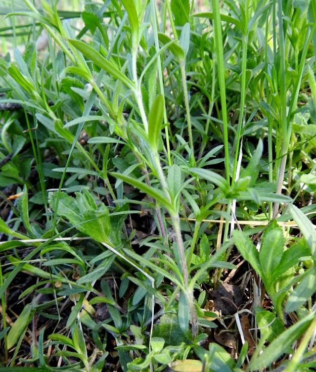 Cerastium arvense - ketohärkin löyhän mattomaisissa kasvustoissa on kukallisten versojen lisäksi runsaasti myös kukattomia versoja, jotka ovat tavallisesti noin 5-15 cm pitkiä. Kuvassa myös lehdiltään leveämpiä ja hammaslaitaisia rohtotädykkeen, Veronica officinalis, versoja. EH, Hämeenlinna, Ahvenisto, Ahvenistonjärven itäranta, ulkoilureitin laita jyrkän harjurinteen tyvellä, 30.5.2020. Copyright Hannu Kämäräinen.
