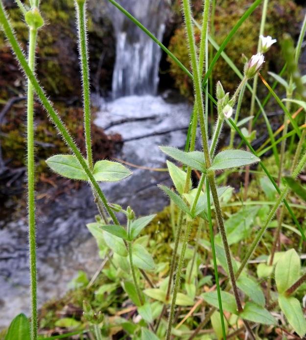 Cerastium fontanum subsp. fontanum - nurmihärkin subsp. pohjannurmihärkin lehdet ovat vastakkaiset, ruodittomat ja soikean pitkulaiset tai puikeat. EnL, Enontekiö, Kilpisjärvi, Saanan Kilpisjärveen päättyvä luoteinen alarinne, tunturikoivikko Siilastuvan kohdalla, maantien yläpuolella, 510 m mpy, 8.7.2018. Copyright Hannu Kämäräinen.
