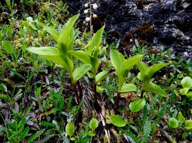 Epipactis atrorubens - tummaneidonvaipan kukkatertut kehittyvät aluksi niiden ympärille kietoutuneiden varsilehtien suojissa. Kallioseinämähyllyllä seuralaisina mm. lapinvuokko, Dryas octopetala ja etelänisotalvikki, Pyrola rotundifolia subsp. rotundifolia. Ks, Salla, 10.7.2019. Copyright Hannu Kämäräinen.