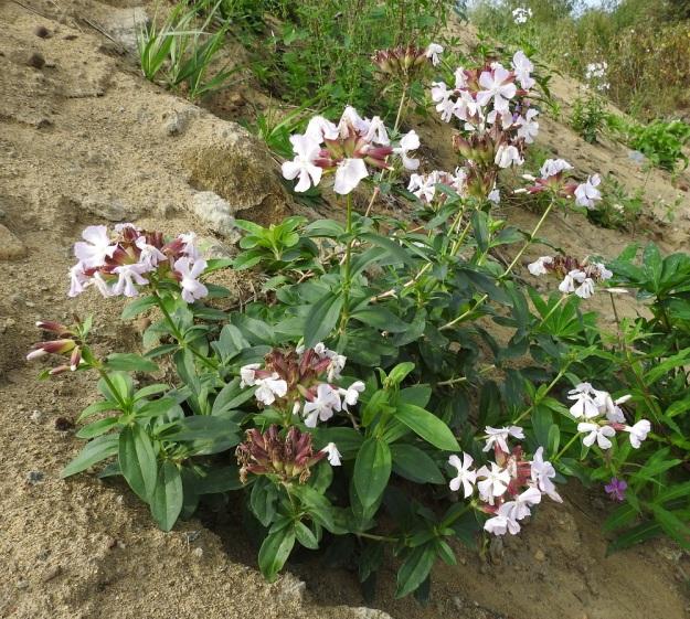 Saponaria officinalis - rohtosuopayrtti on Suomessa vanha hyötykasvi, jonka nykykannat enemmän tai vähemmän luonnonympäristöissä ovat kuitenkin jäänteitä ja karkulaisia lajin perennaistutuksista. Vahva juurakko kasvattaa monivartisia kasvustoja ja pitkälle rönsyävät maavarret auttavat levittäytymistä. Laji leviää uusille kasvupaikoille myös maansiirtotöissä, kuten kuvan yksilötkin. Uudeksi aluksi riittää maa-aineksen mukana saapunut pätkä maavartta. EH, Hämeenlinna, Ojoinen, Paroinen, jätevedenpuhdistamon kompostiauma-alueen laitavalli, 8.9.2018. Copyright Hannu Kämäräinen.