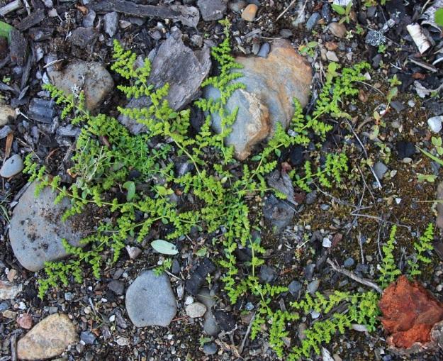Herniaria glabra - ketotyräruoho kasvattaa varsia tyveltä usein säteittäisesti joka suuntaan. Varret ovat tavallisesti 5-25 cm pitkät. Kukat sijaitsevat tiheinä ryhminä lyhyissä sivuhaaroissa. PK, Joensuu, Penttilä, ratapiha Suvantosillan eteläpuolella, 21.7.2010. Copyright Hannu Kämäräinen.