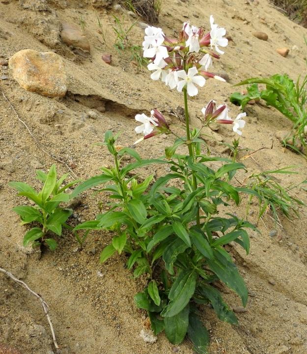 Saponaria officinalis - rohtosuopayrtin kukinto-osa on yleensä noin 15-30 cm pitkä kaksipuolinen viuhkohuiskilo. Kukat ovat tiheimpänä ryhmänä varren latvassa sekä erillisinä osakukintoina sen alapuolella, yläviistojen tai sivulle siirottavien haarojen kärjessä. EH, Hämeenlinna, Ojoinen, Paroinen, jätevedenpuhdistamon kompostiauma-alueen laitavalli, 8.9.2018. Copyright Hannu Kämäräinen.