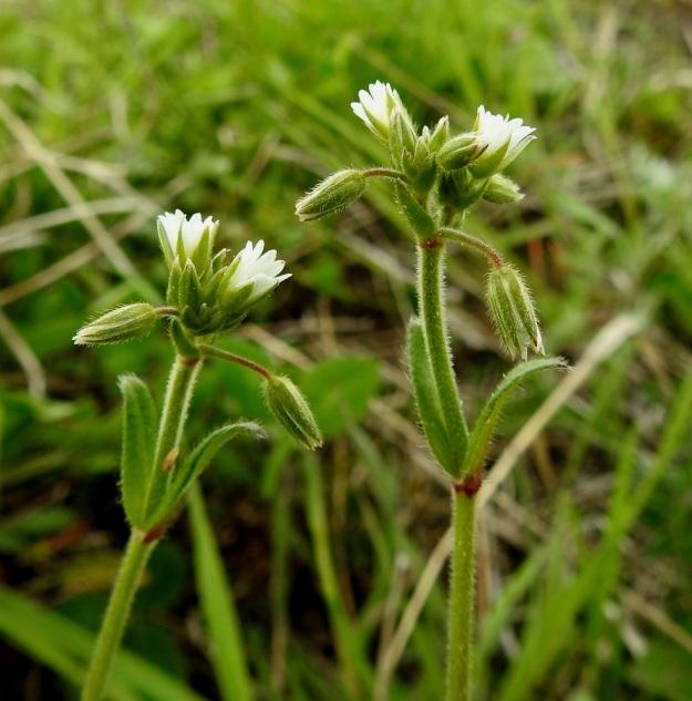 Cerastium fontanum subsp. vulgare var. vulgare - nurmihärkki subsp. piennarnurmihärkki var. arkinurmihärkki. Nuorissa kukintovarsissa kukat ovat latvassa tiheänä sykerönä, josta myöhemmin nousee perättäisiä kaksihaaraviuhkoja kukinnon kasvaessa pituutta. EH, Hämeenlinna, Majalahti, Louhoksentien varren maankaatopaikka, 4.6.2020. Copyright Hannu Kämäräinen.