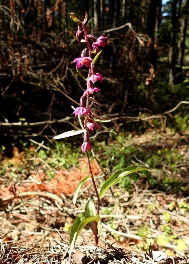 Epipactis atrorubens - tummaneidonvaipan kukat ovat toisinaan kuvan tavoin aivan nuokkuvat. U, Hanko, 14.7.2020. Copyright Hannu Kämäräinen.