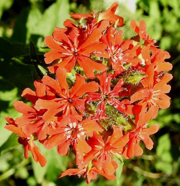 Lychnis chalcedonica - palavanrakkauden latvaviuhkossa on tavallisesti 10-40 kukkaa. Kuvassa näkyy hyvin myös verhiön suonten pitkä karvoitus. EH, Hämeenlinna, Loimalahti, Kuokkamaa, Sammontien ja laitametsikön välinen piennar Myllyojan länsipuolella, 2.7.2020. Copyright Hannu Kämäräinen.