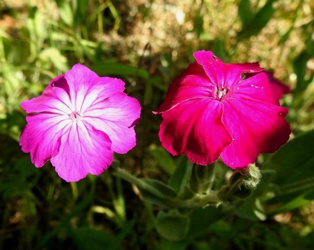 Lychnis coronaria - harmaakäenkukan teriö on yleensä purppuranpunainen. Aika usein samoissakin varsissa joidenkin kukkien keskiosa on vaaleampi tai jopa valkolaikkuinen. Kukassa on pysty lisäteriö, joka on noin 2-3 mm pitkä ja viisilehtinen sekä syvään ja kapeasti kaksihalkoinen. Ennen heteiden ja luottien esiin nousua lisäteriö on taipunut keskustaa kohti suojaten teriön nielua. EH, Hämeenlinna, Loimalahti, Kuokkamaa, vanhan Sammon kaatopaikan täyttökumpu, metsän reuna, 22.7.2019. Copyright Hannu Kämäräinen.