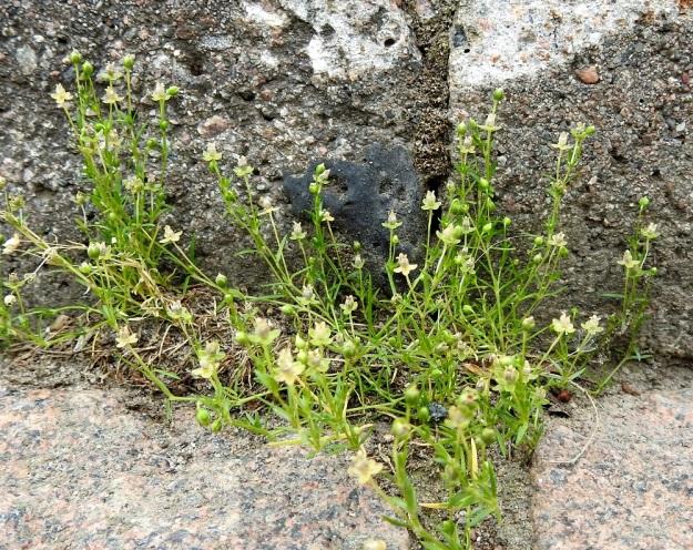 Sagina procumbens - rentohaarikon varret ovat yleensä rennot tai kohenevat. Siementaimien lisäksi laji levittäytyy myös kasvullisesti varsien nivelkohdista juurehtimalla. EH, Hämeenlinna, keskusta, Raatihuoneen piha, 29.6.2020. Copyright Hannu Kämäräinen.
