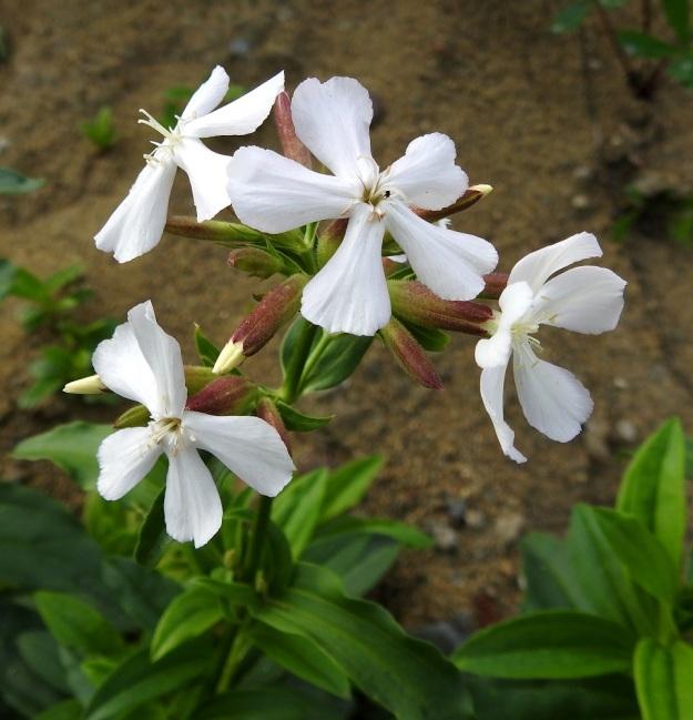 Saponaria officinalis - rohtosuopayrtin perusmuodolla kukissa on viisi terälehteä ja teriö on läpimitaltaan noin 25-35 mm sekä väriltään kuvan tavoin valkoinen tai vaaleanpunertava. Heteitä on kymmenen ja emin vartaloita sekä luotteja kaksi. EH, Hämeenlinna, Ojoinen, Paroinen, jätevedenpuhdistamon kompostiauma-alueen laitavalli, 8.9.2018. Copyright Hannu Kämäräinen.
