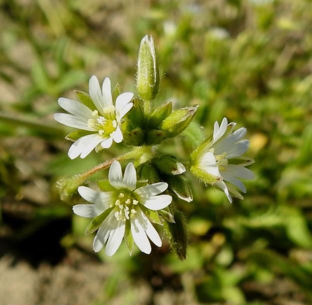 Cerastium fontanum subsp. vulgare var. vulgare - nurmihärkki subsp. piennarnurmihärkki var. arkinurmihärkki. Kukan terälehdet ovat valkoiset ja noin 4,5-7,5 mm pitkät. Niiden kärki on matalasti lovipäinen. Ne ovat verholehtiä hieman lyhyemmät, samanpituiset tai toisinaan hieman pitemmät. Heteitä on kymmenen ja emin vartaloita ja luotteja viisi. EH, Hämeenlinna, Loimalahti, Sampo, Sammonojantien varren uudisnurmikkoalue, 13.6.2020. Copyright Hannu Kämäräinen.