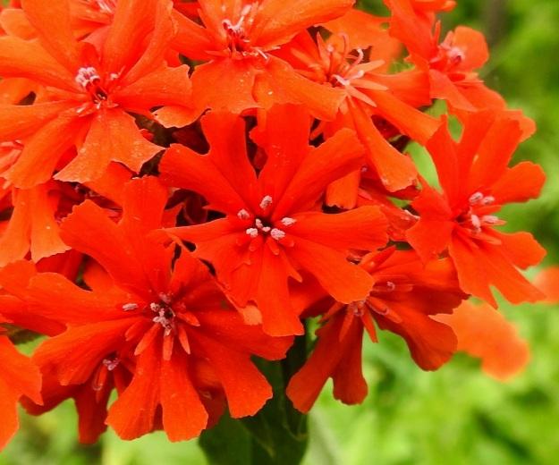 Lychnis chalcedonica - palavanrakkauden kukassa on yleensä kymmenen hedettä, vaikka vaaleita ponsia on esillä yleensä vähemmän. Heteet nousevatkin tavallisesti pienempinä ryhminä ja pidentävät näin pölytysaikaa. Emin vartaloita ja luotteja on useimmiten viisi. Ne eivät ole yleensä esillä yhtä aikaa pölyttävien ponsien kanssa. Luotit näkyvät hyvin oikean ylälaidan kukassa. Kuvassa näkyy hyvin myös lisäteriön pituuden vaihtelu samassakin kukassa. EH, Hämeenlinna, Loimalahti, Kuokkamaa, Sammontien ja laitametsikön välinen piennar Myllyojan länsipuolella, 4.7.2020. Copyright Hannu Kämäräinen.