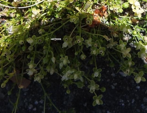 Sagina procumbens - rentohaarikon kukassa on verholehtien lukumäärästä riippuen neljä tai viisi hedettä. Emiö on neljä- tai viisivartaloinen ja -luottinen (nuolen osoittamassa kukassa luotteja on viisi). Vaikka verholehtiä on yleensä neljä, kuvassa on myös useita viisilehtisiä verhiöitä. Neljäliuskaisesti avautuvan kodan liuskoja luullaan usein terälehdiksi. EH, Hämeenlinna, Loimalahti, Hirsimäki, Näsiäntien varsi, päällysterako, 19.6.2020. Copyright Hannu Kämäräinen.