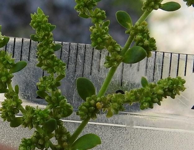 Herniaria glabra - ketotyräruohon kukat ovat lähes huomaamattoman pienet, vain noin 1,5 mm leveät. Lisäksi ne ovat muun kasvin tavoin vaaleanvihreät. Kuvassakin niitä on auki yli 10, vaikka havaitseminen vaatii katseen tarkennusta. Pienestä koostaan huolimatta kukat ovat runsasmetisiä ja keräävät pölyttäjikseen mm. pieniä kärpäsiä ja sääskiä. EH, Kouvola, Kuusankoski, Voikkaa, vanha, suurimmaksi osaksi pois käytöstä oleva ratapiha-alue, länsipään sorakenttä, 10.7.2020. Copyright Hannu Kämäräinen.