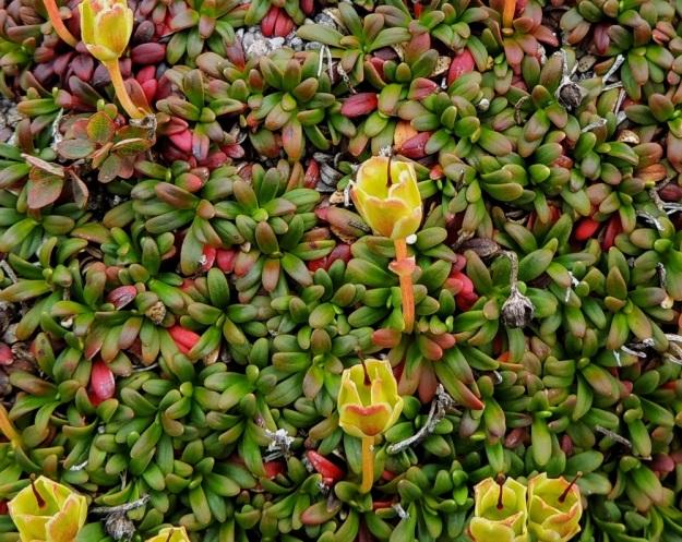Diapensia lapponica - lapinuuvanan lehdet ovat verson kärkiosassa kierteisesti ja hyvin tiheästi. Ne ovat muuten lähes tasasoukkia mutta päästään yleensä kapean vastapuikeita ja pyöreäpäisiä sekä tavallisesti noin 5-12 mm pitkiä ja 1-2 mm leveitä leveimmältä kohtaa. Lehdet ovat jäykät, nahkeat, reunoiltaan hieman alaskiertyneet ja kaljut sekä talvehtivat.. EnL, Enontekiö, Kilpisjärvi, Saana, luoteisrinne lähellä lounaista pahtaseinämää, 760 m mpy, 17.7.2013. Copyright Hannu Kämäräinen.