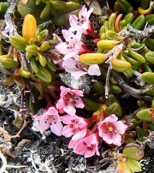 Kalmia procumbens (Loiseleuria procumbens) - sielikön kukat ovat yksittäin tai pieninä sarjoina haarojen kärjessä. Teriössä on viisi, harvemmin 6 kärkeä kohti kapenevaa kärkiliuskaa, jotka ovat noin 1-2,5 mm pitkiä. (Kuvan seitsemästä, selvästi näkyvästä kukasta kahdessa on kuusi liuskaa.) Heteitä on viisi ja harvoin kuusi. Emiö on yhdislehtinen ja yksiluottinen. EnL, Enontekiö, Kilpisjärvi, Saana, luoteisrinne lähellä lounaista pahtaseinämää, 745 m mpy, 5.7.2018. Copyright Hannu Kämäräinen.