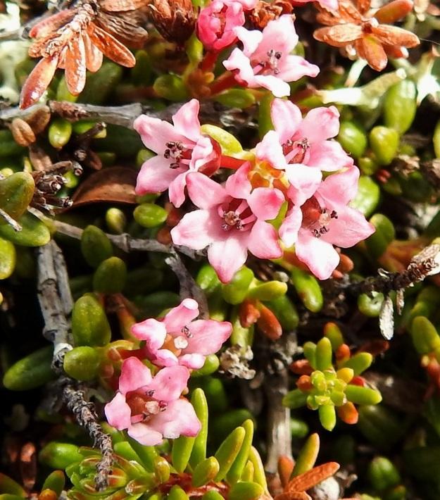 Kalmia procumbens (Loiseleuria procumbens) - sielikkö varmistaa siementuotantonsa. Jos hyönteinen ei tuo siitepölyä muualta kukkaan, heteet taipuvat kuvan tavoin kiinni luottiin ja tekevät kukalle itsepölytyksen. EnL, Enontekiö, Kilpisjärvi, Saana, luoteisrinne lähellä lounaista pahtaseinämää, 745 m mpy, 5.7.2018. Copyright Hannu Kämäräinen.