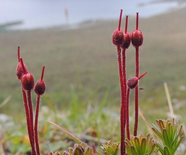 Phyllodoce caerulea - tunturikurjenkanervan kota on pysty, pitkänpyöreä, punaruskea ja nystykarvainen. Pituutta sillä on noin 3,5-4 mm ja paksuutta noin 3 mm. Kota on enintään verholehtien mittainen ja sen kärjessä pysyy kauan aikaa emin vartalo ja luotti. Kukkaperä pitenee huomattavasti hedelmävaiheessa. EnL, Enontekiö, Kilpisjärvi, Saana, luoteisrinne lounaislaita, paljakkarinne, 685 m mpy, 16.7.2013. Copyright Hannu Kämäräinen.